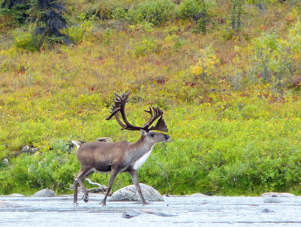 Bull caribou in prime condition for the fall mating season.