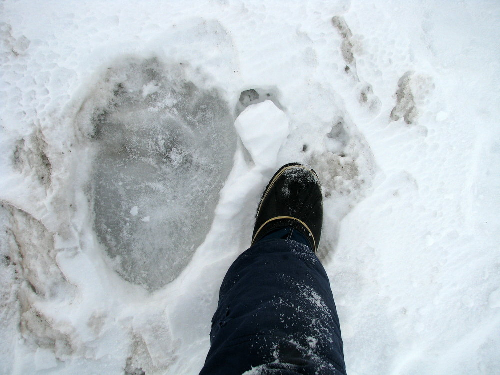 This frozen track reveals the imposing size of a polar bear, on the sea ice near Kaktovik, Arctic Alaska.