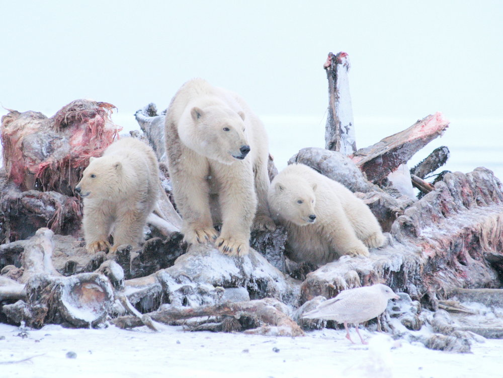 Polar Bears Kaktovik Oct 2005-122.JPG