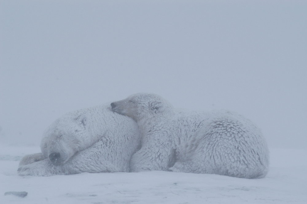 Polar Bears Kaktovik Oct 2005-236.JPG