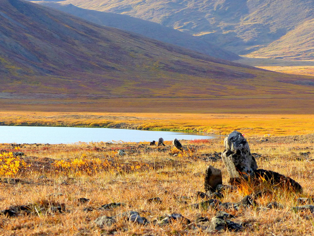 For thousands of years, Inuit hunters set up rows of stone scarecrows, called Inuksut, to drive migrating caribou into lakes where the animals were speared from kayaks.