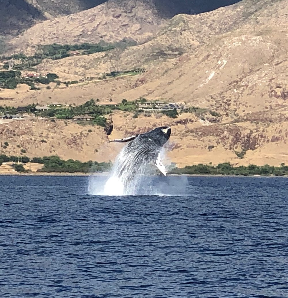 One huge humpback whale throwing his whole body out of the water with two kicks of his tail