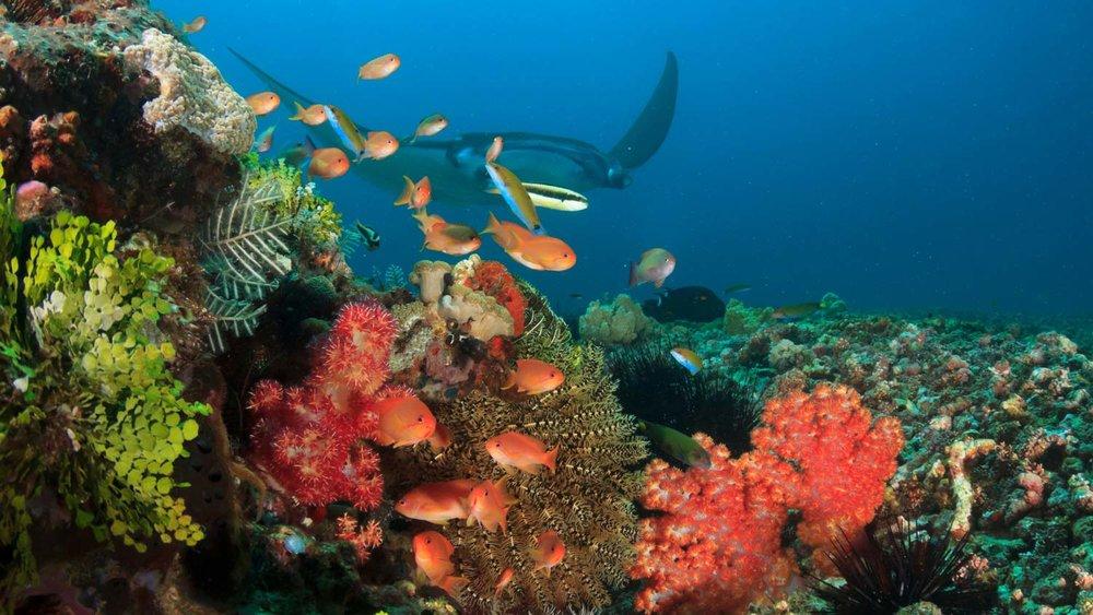 Reef-manta-at-komodo-national-park.jpg