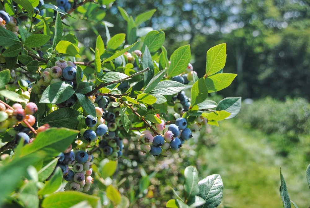 Blueberries at Ellsworth Farm
