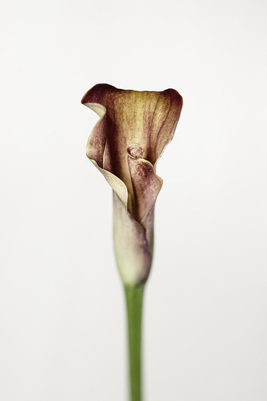 arum creticum