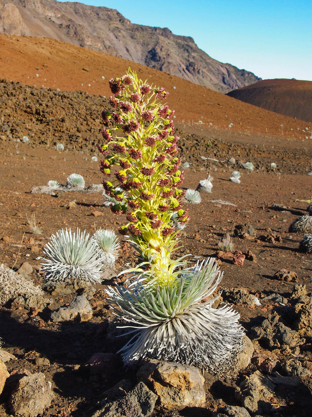 A blooming silver sword. This endangered plant is only found in Haleakala and blooms just once in it's 50-70 year lifespan, so we were pretty excited to stumble across one in full bloom!