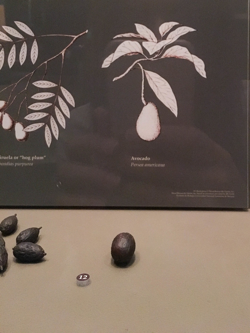 Ancient avocado! It's tiny - about the size of a golf ball!