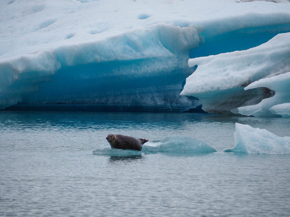We saw a seal at Jokulsarlon!