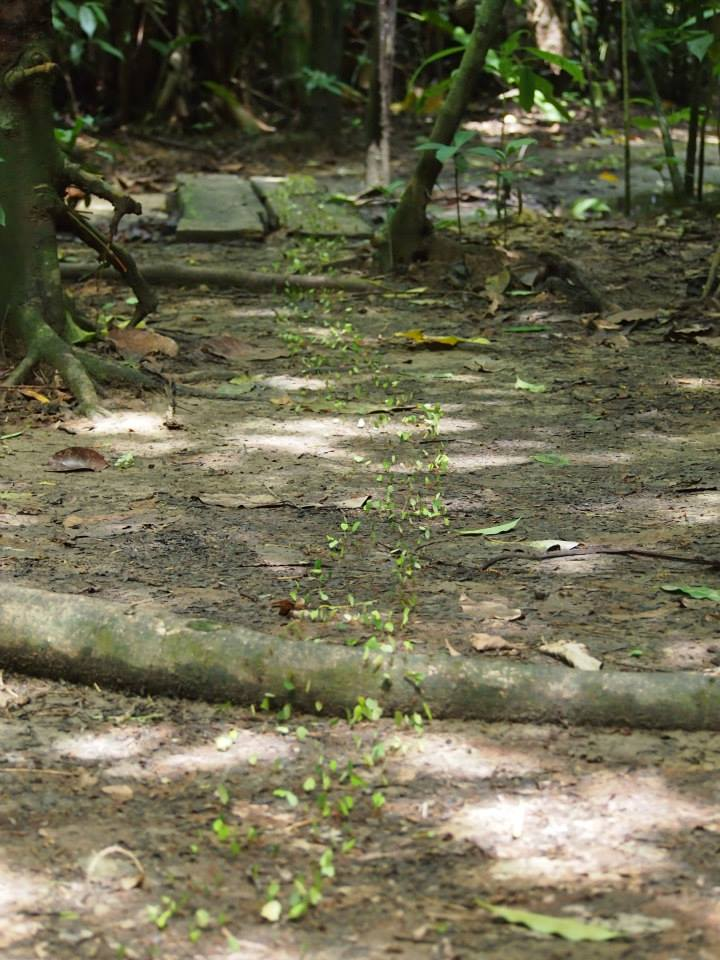 A long line of leaf cutter ants