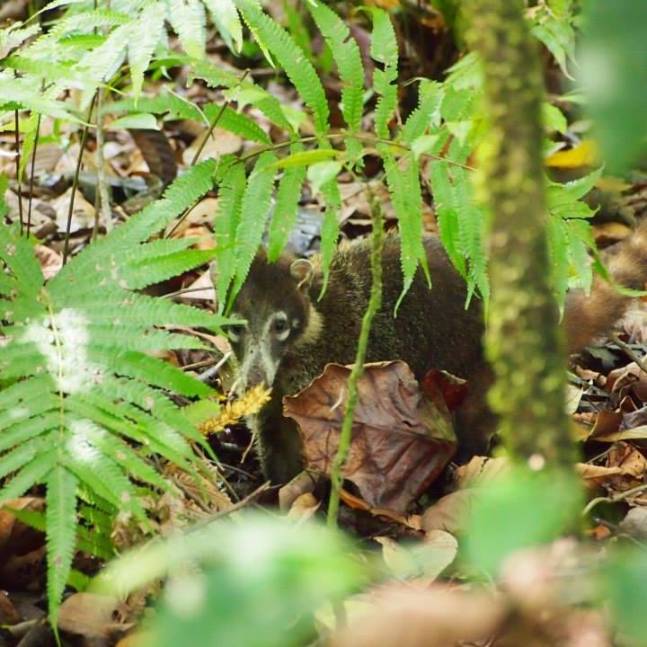 Costa Rica Travel Guide: White Tailed Cudi