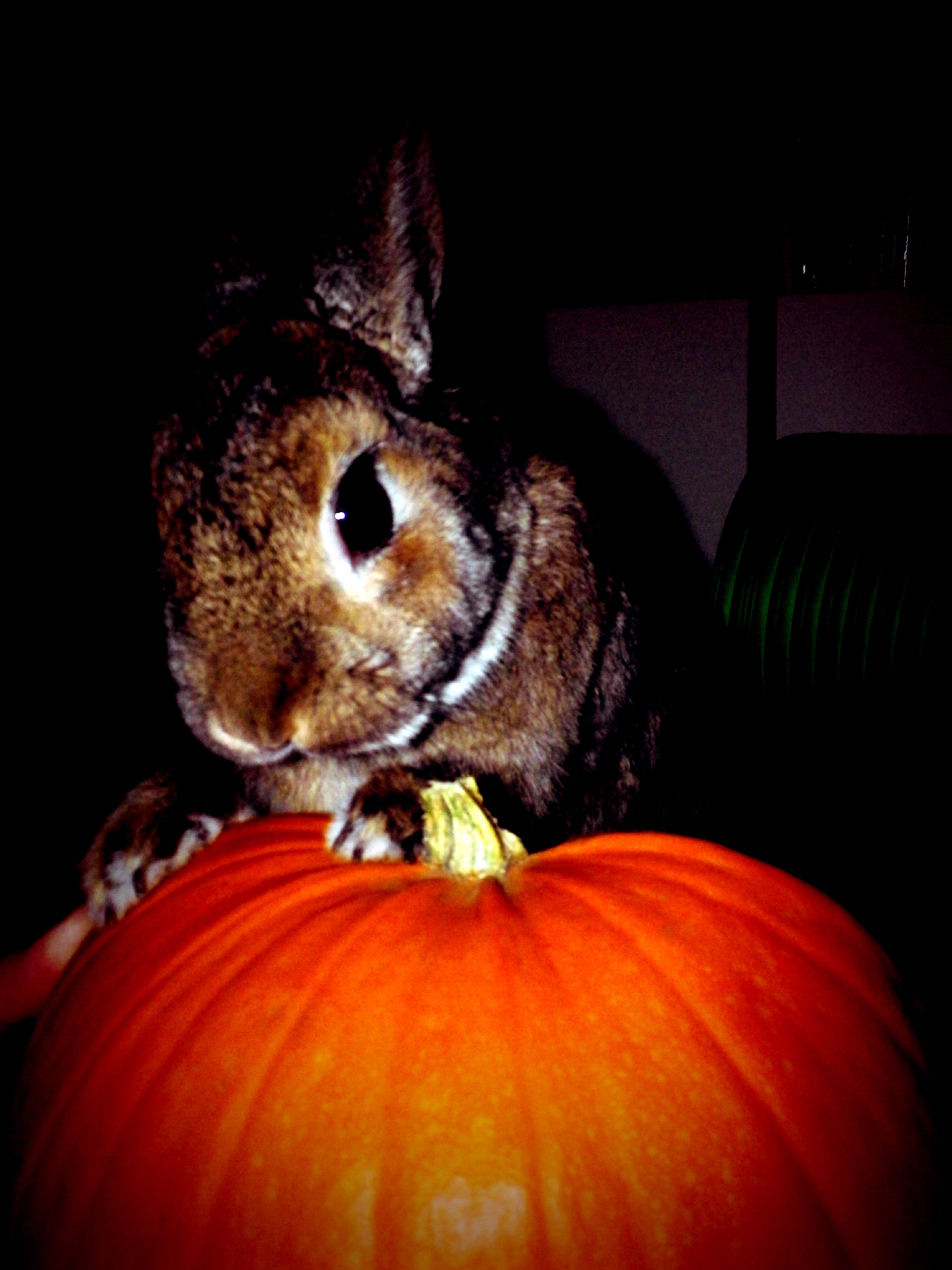 Bunny Looks for the Perfect Point to Start Carving a Jack-O'-Lantern