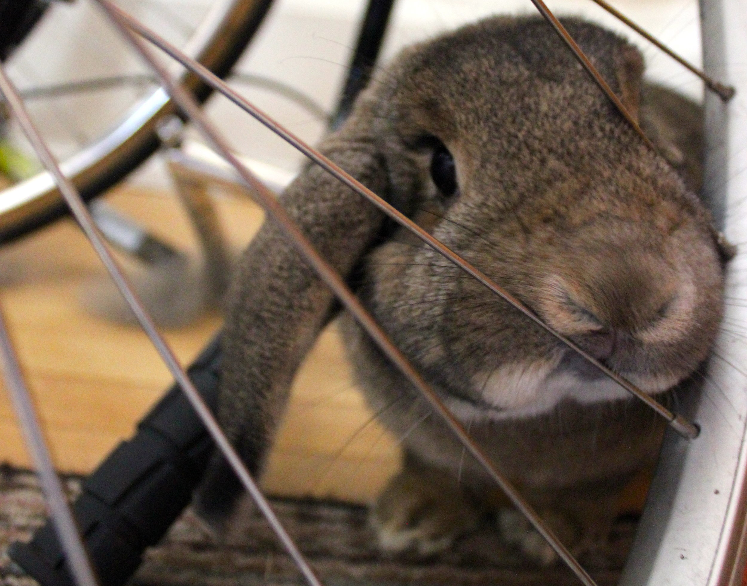 Forensic Scientist Bunny Sniffs Hooman's Bike for Signs of the Farmers Market