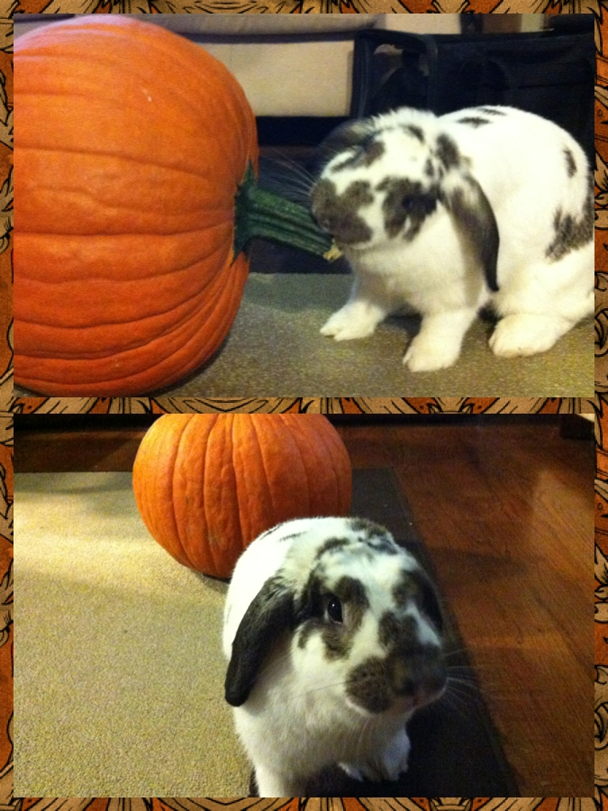 Bunny Plays with a Pumpkin