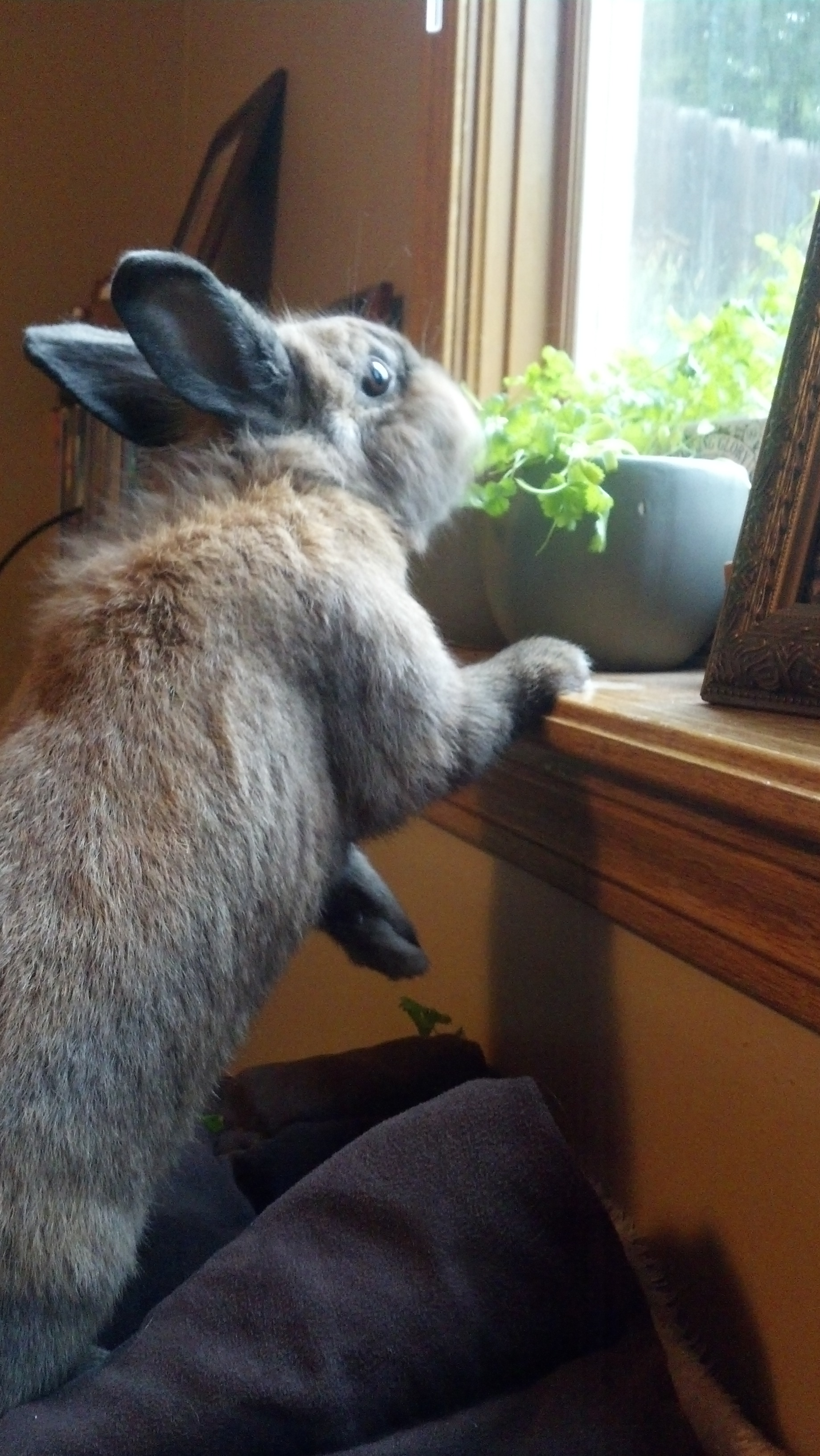 Bunny Is Caught Nomming Human's Windowsill Cilantro