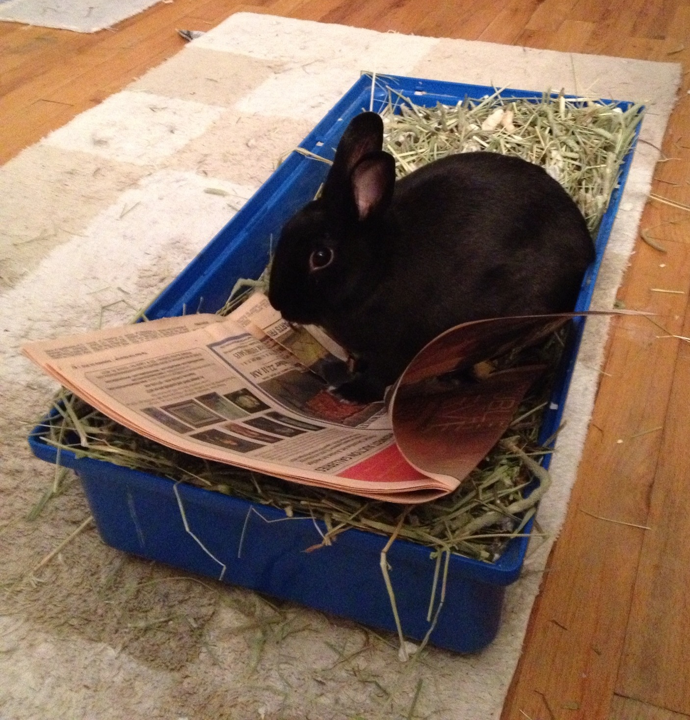 Bunny Reads the Paper in the Litterbox