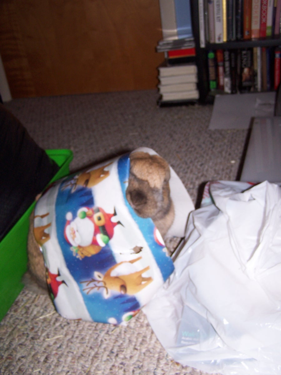 Bunny Tries to Help Wrap Presents, But the Temptation to Nibble Is too Great!