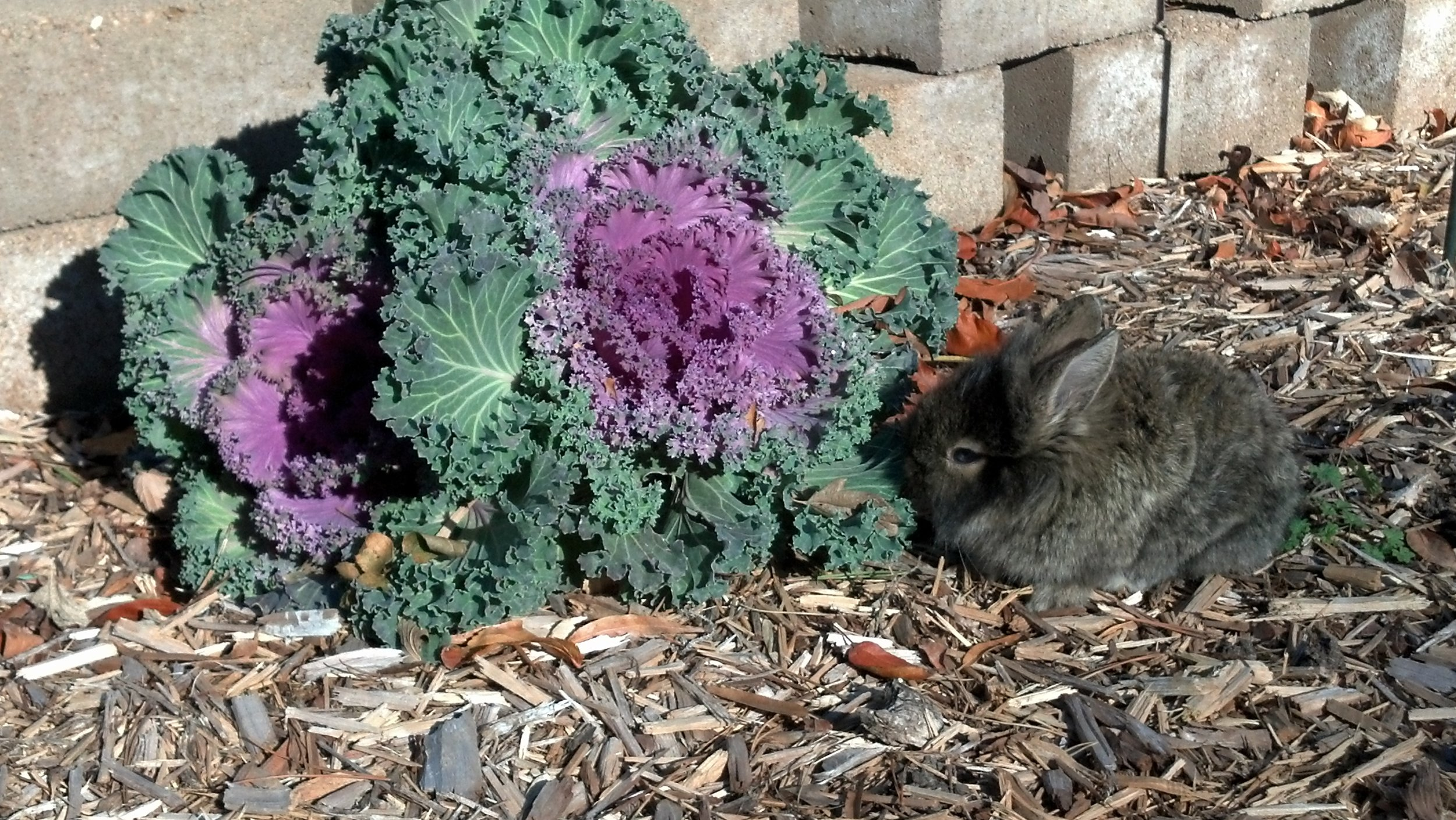 Bunny Gets Started on the Kale Plant Growing in the Garden