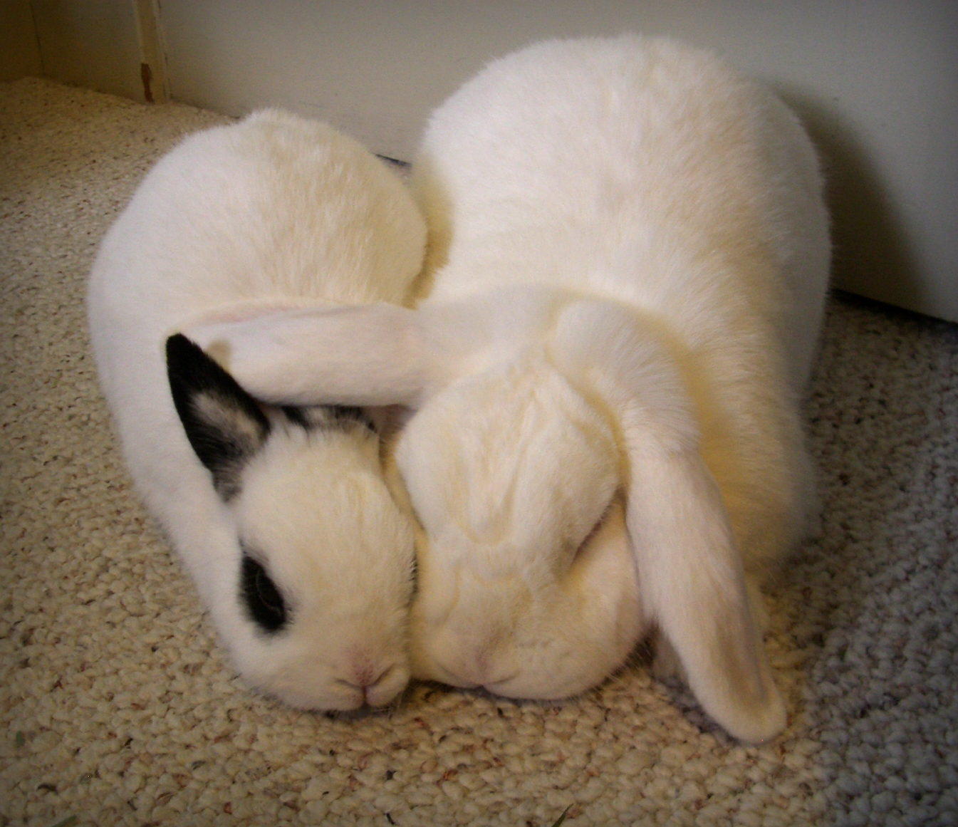 Bunny Keeps His Ears Warm During Naps with Help from His Friend