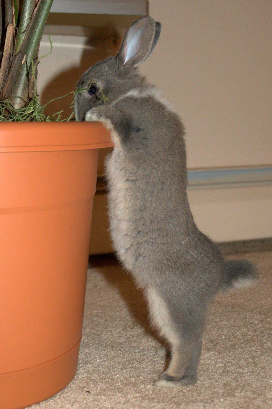 Bunny Stretches Up to See What's Available in the Planter for Nomming