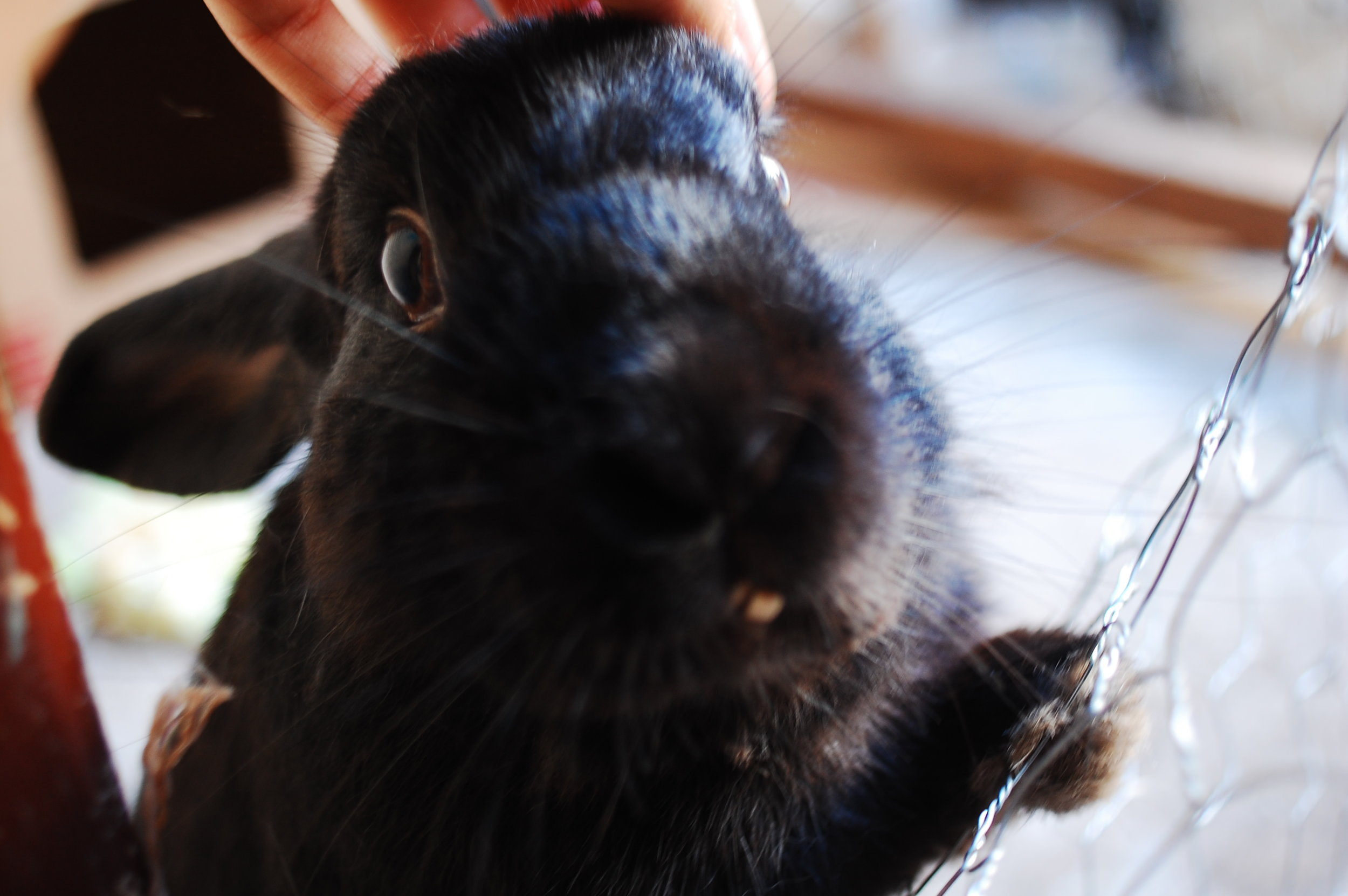 Bunny Stands Up to Receive Head Scratches