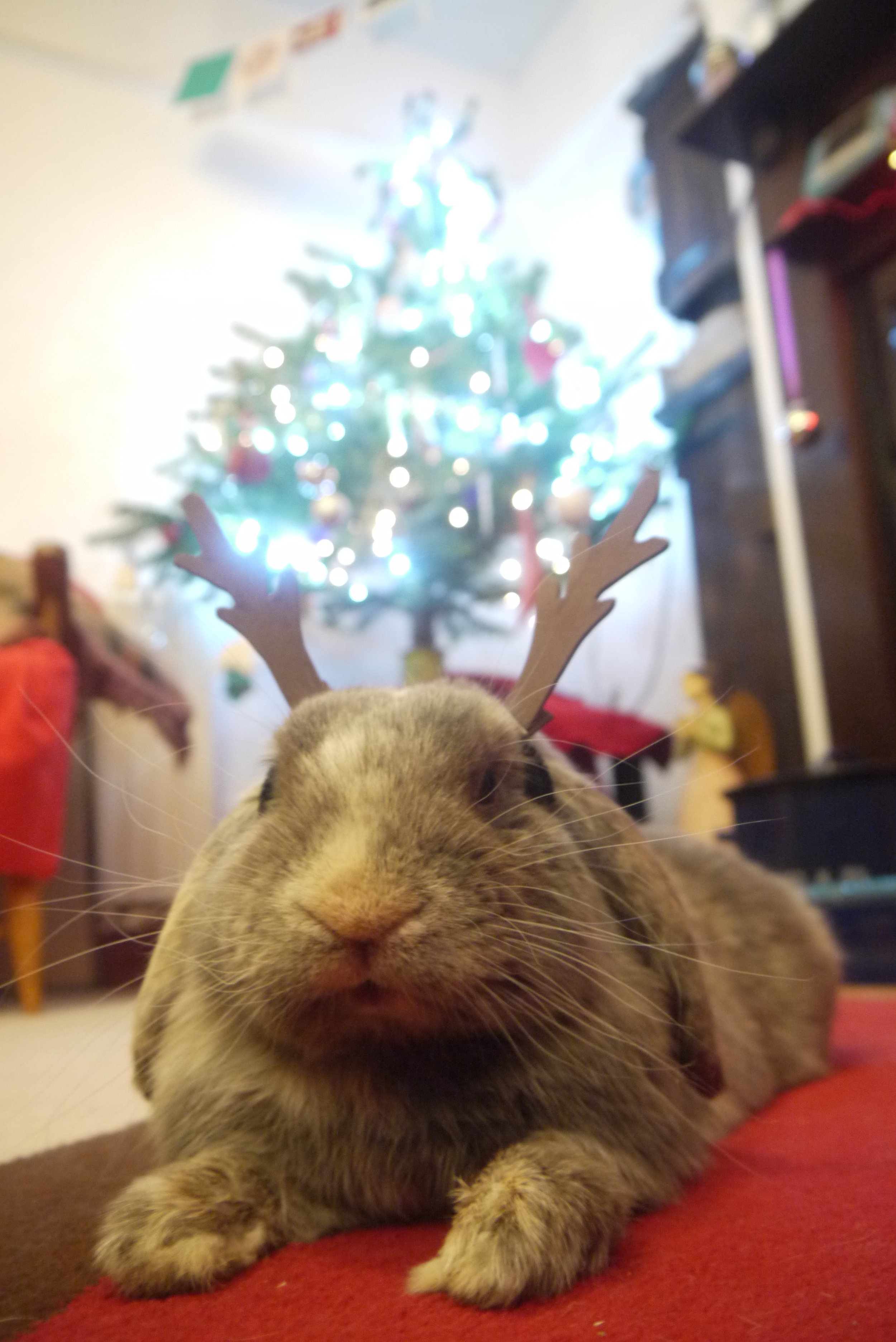 Relaxing Bunny Doesn't Exactly Share a Reindeer's Work Ethic
