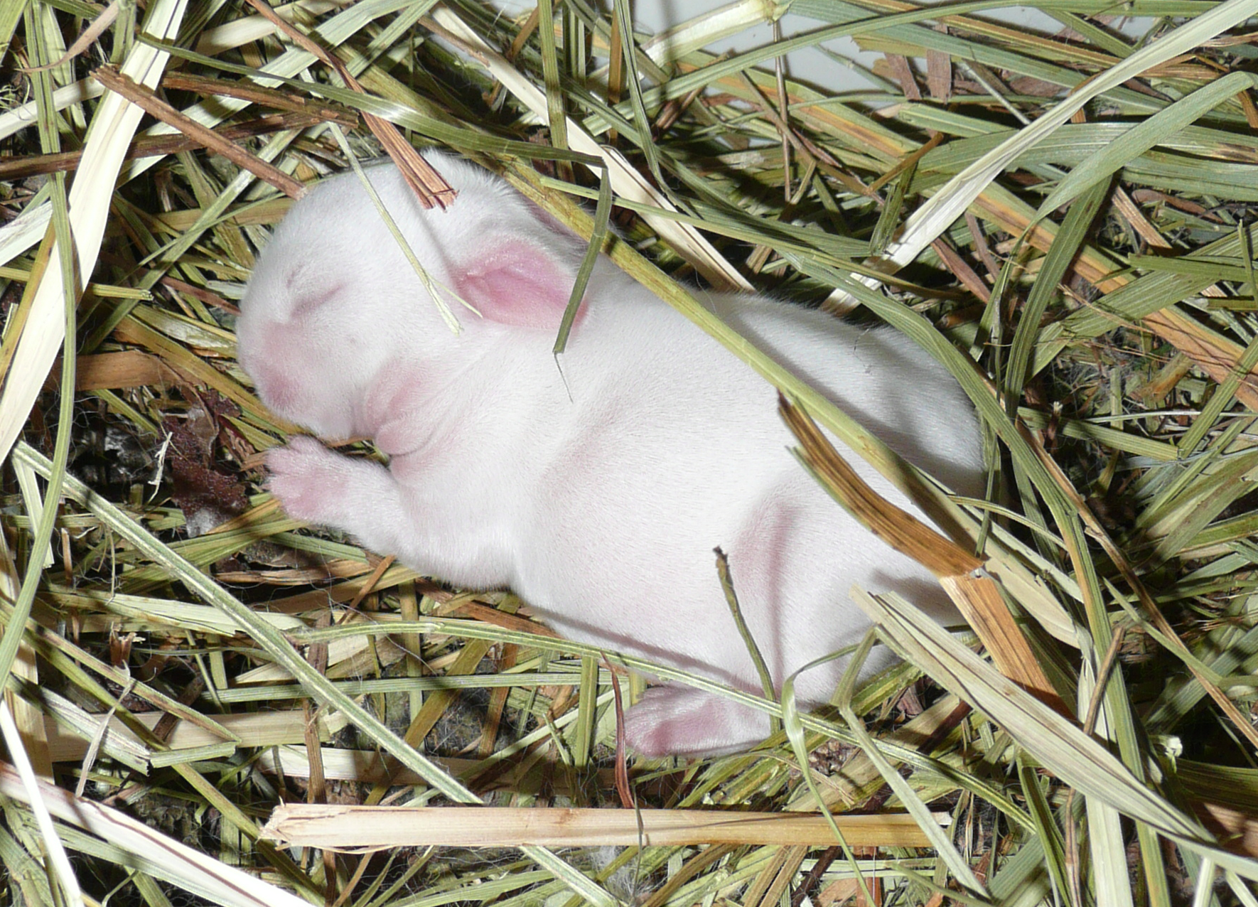 Three-Day-Old Bunny Sleeps Soundly
