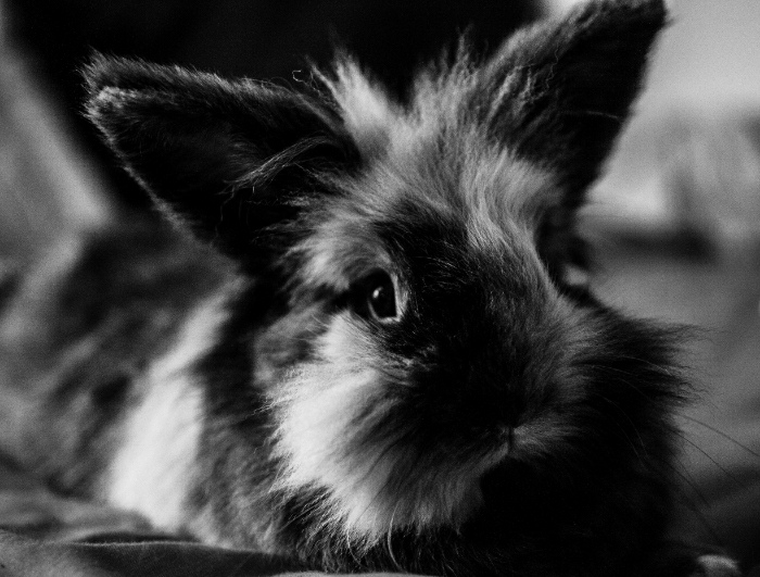 Black and White Portrait of Lionhead Bunny