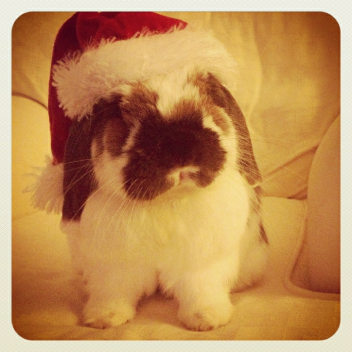 Bunny Poses for a More Formal Santa Hat Portrait s