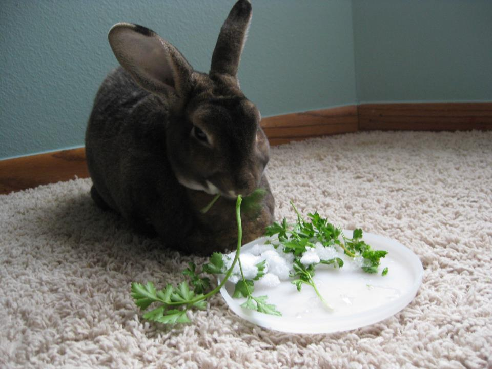 Bunny Enjoys the Last of the Summer Parsley, with a Side of Snow