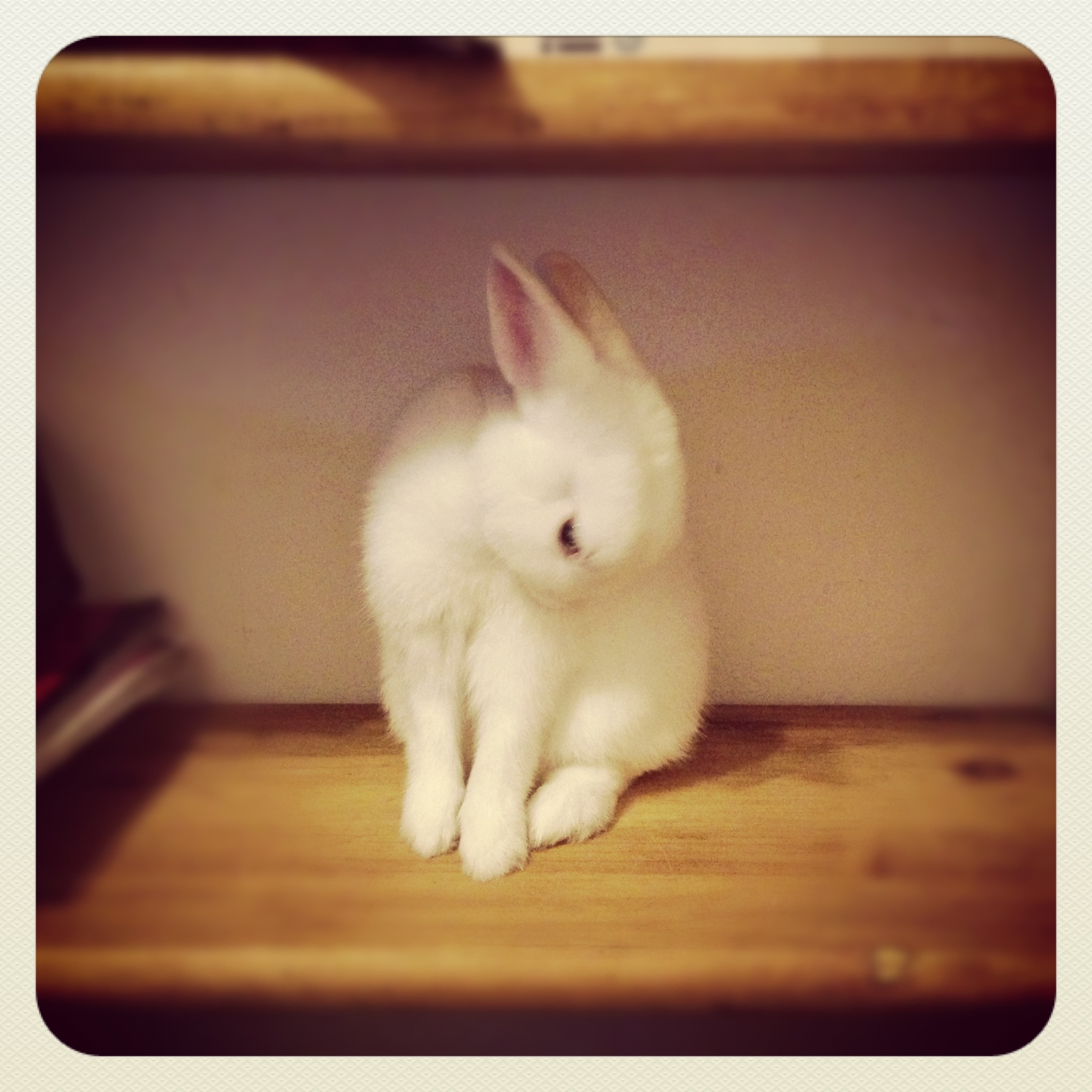 Bunny Finds a Place on the Shelf for a Grooming Session
