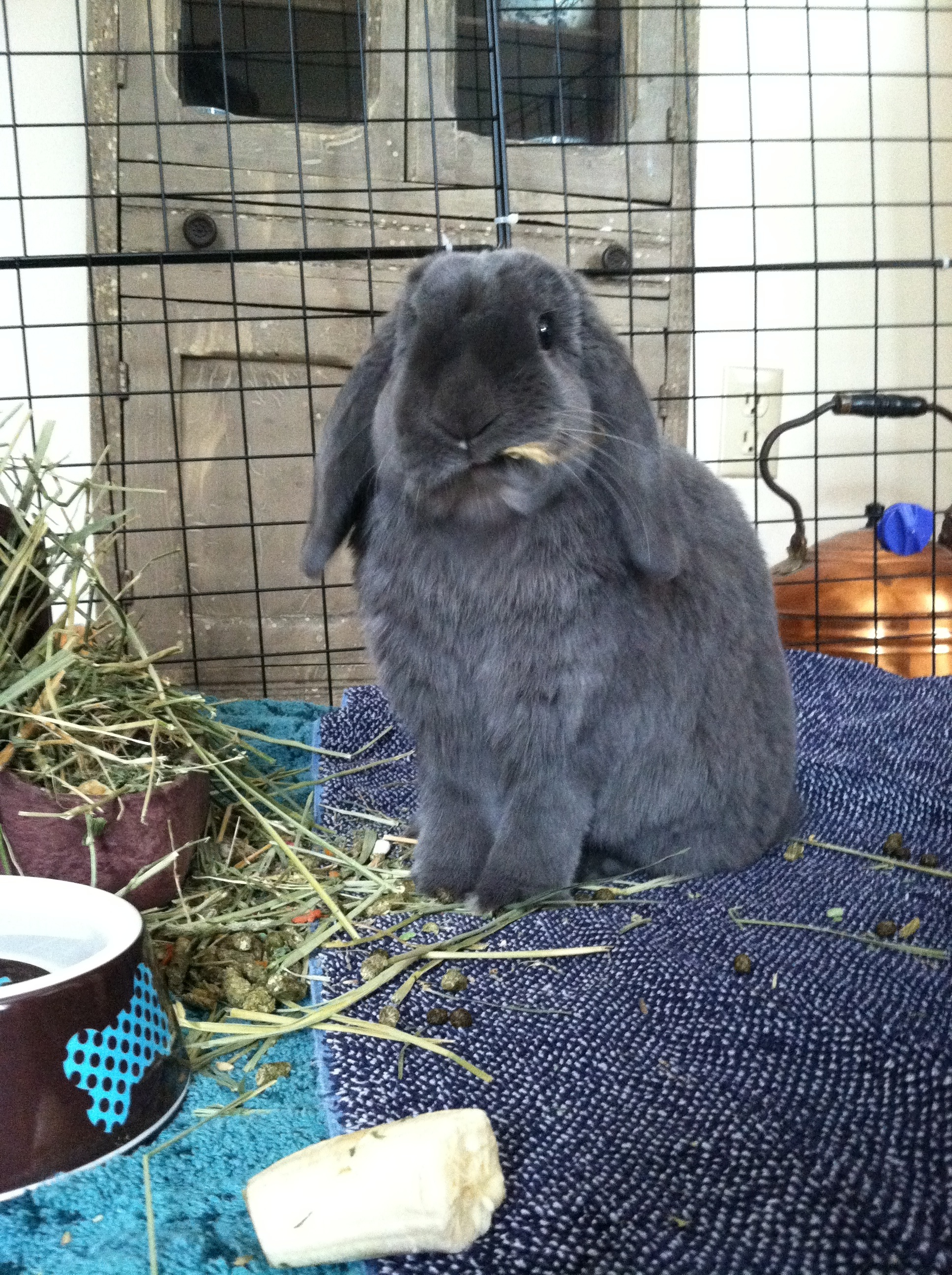 Bunny Sticks Hay in His Mouth for His Cowboy Impression