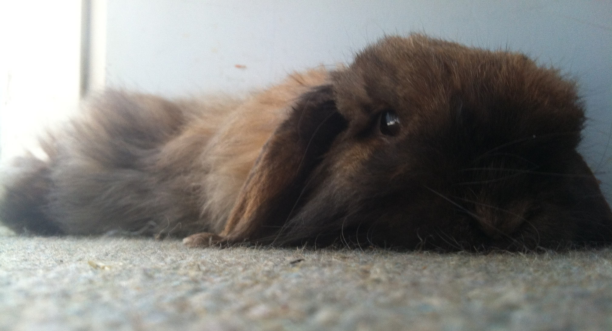 Sleepy Bunny Just Melts into the Floor