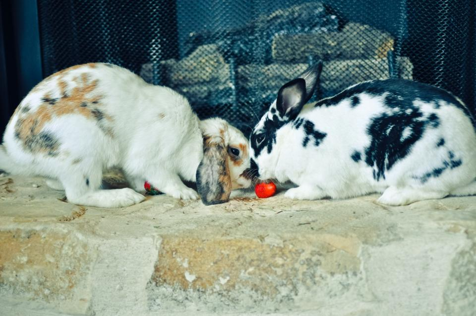 Bunnies Share a Romantic Meal of Greens and Strawberries for Dessert 2