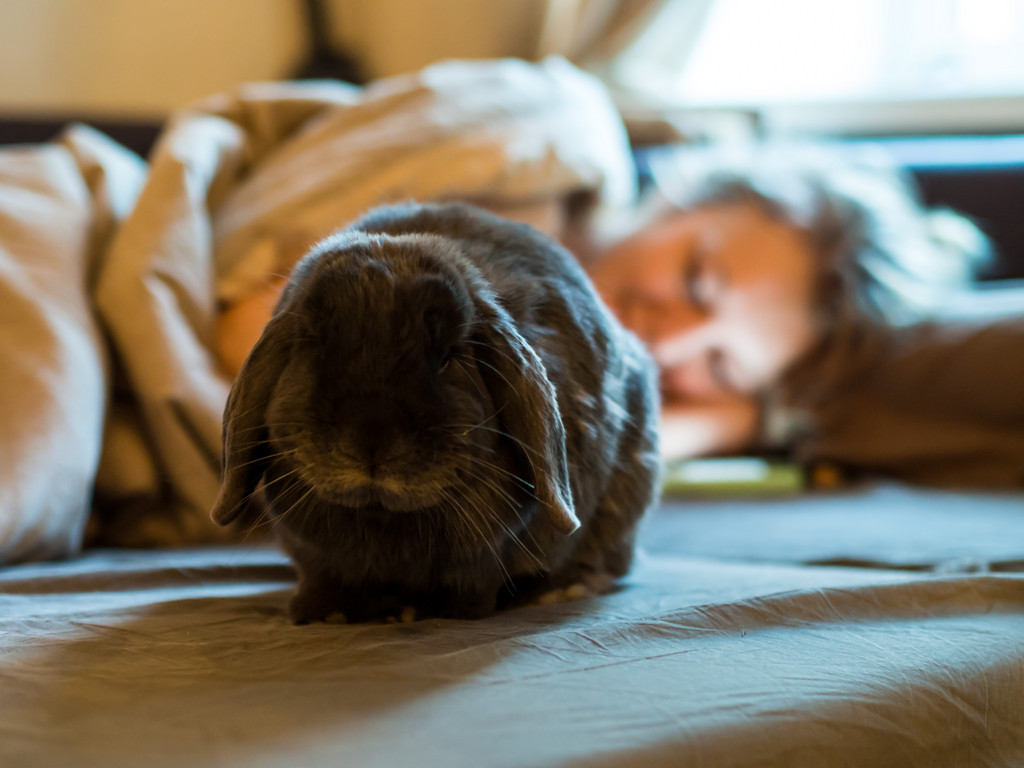 Bunny Sulks As He Hasn't Been Successful in Getting the Human Up to Get Breakfast