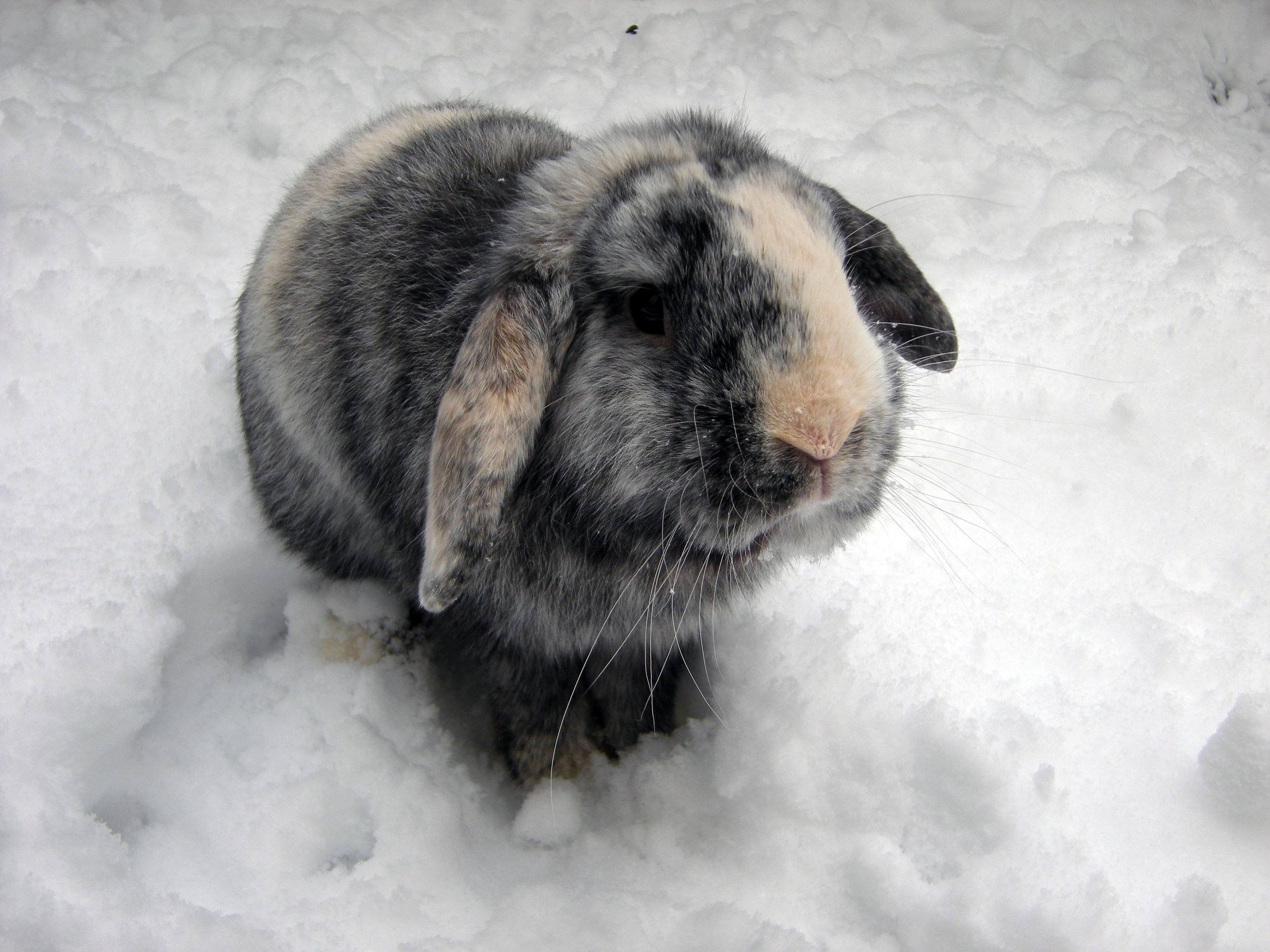 Bunny Isn't Sure What He Thinks About This Snow