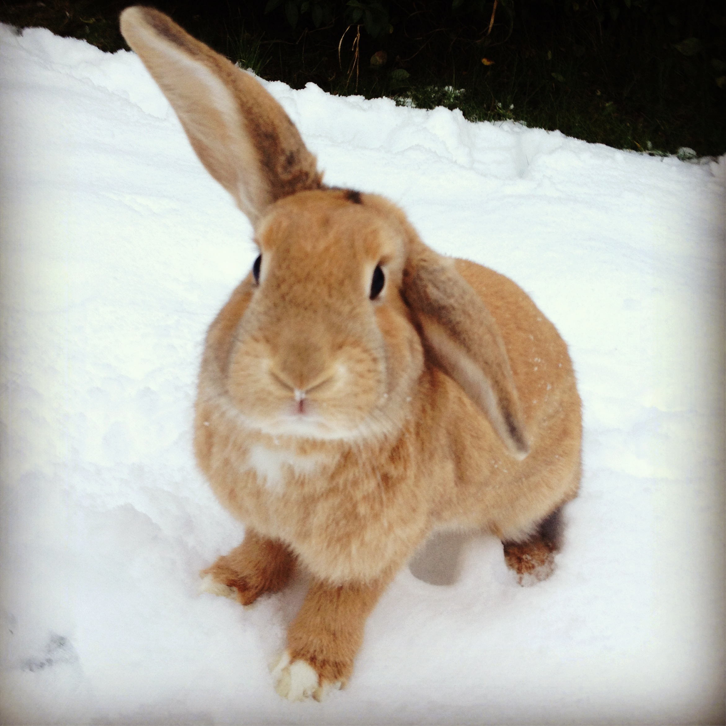 Bunny Keeps an Ear up to Listen for Snow Bunnies