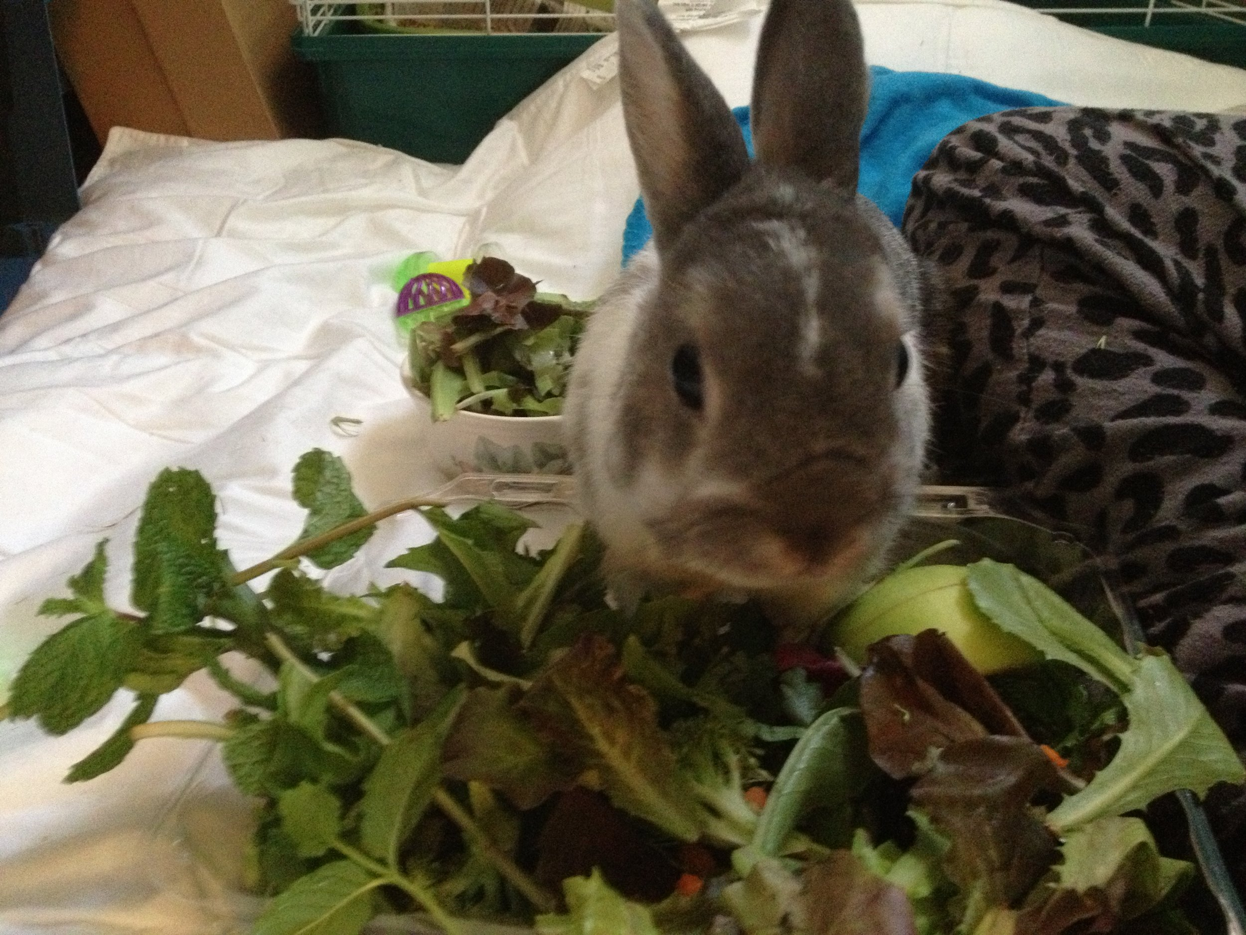 Bunny Bypasses the Bowl of Veggies Prepared for Him and Goes Straight to the Source