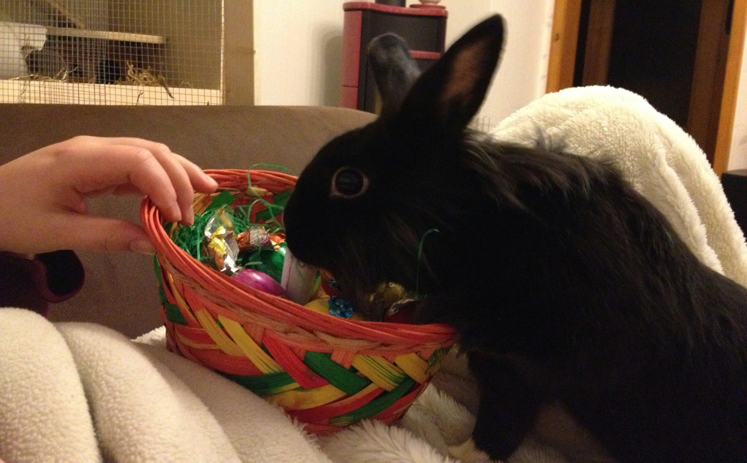 Bunny Searches for Some Tasty Greens Amid All of Human's Chocolate