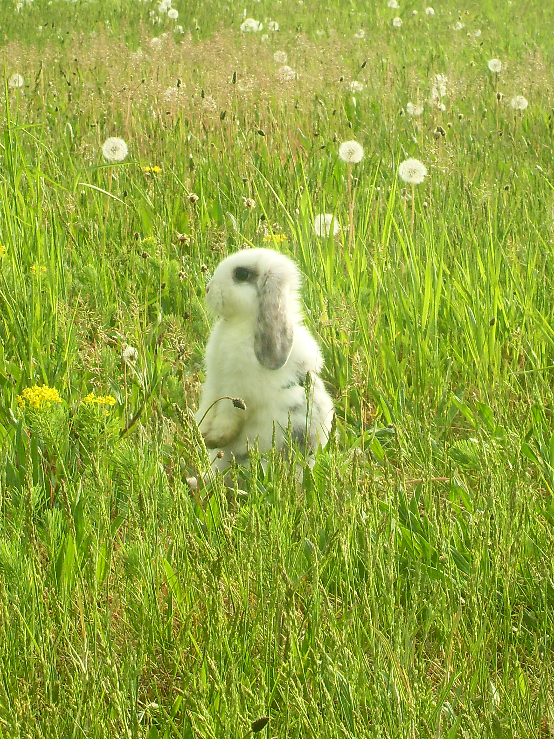 Bunny Stands in a Field of Dandelions and Grass