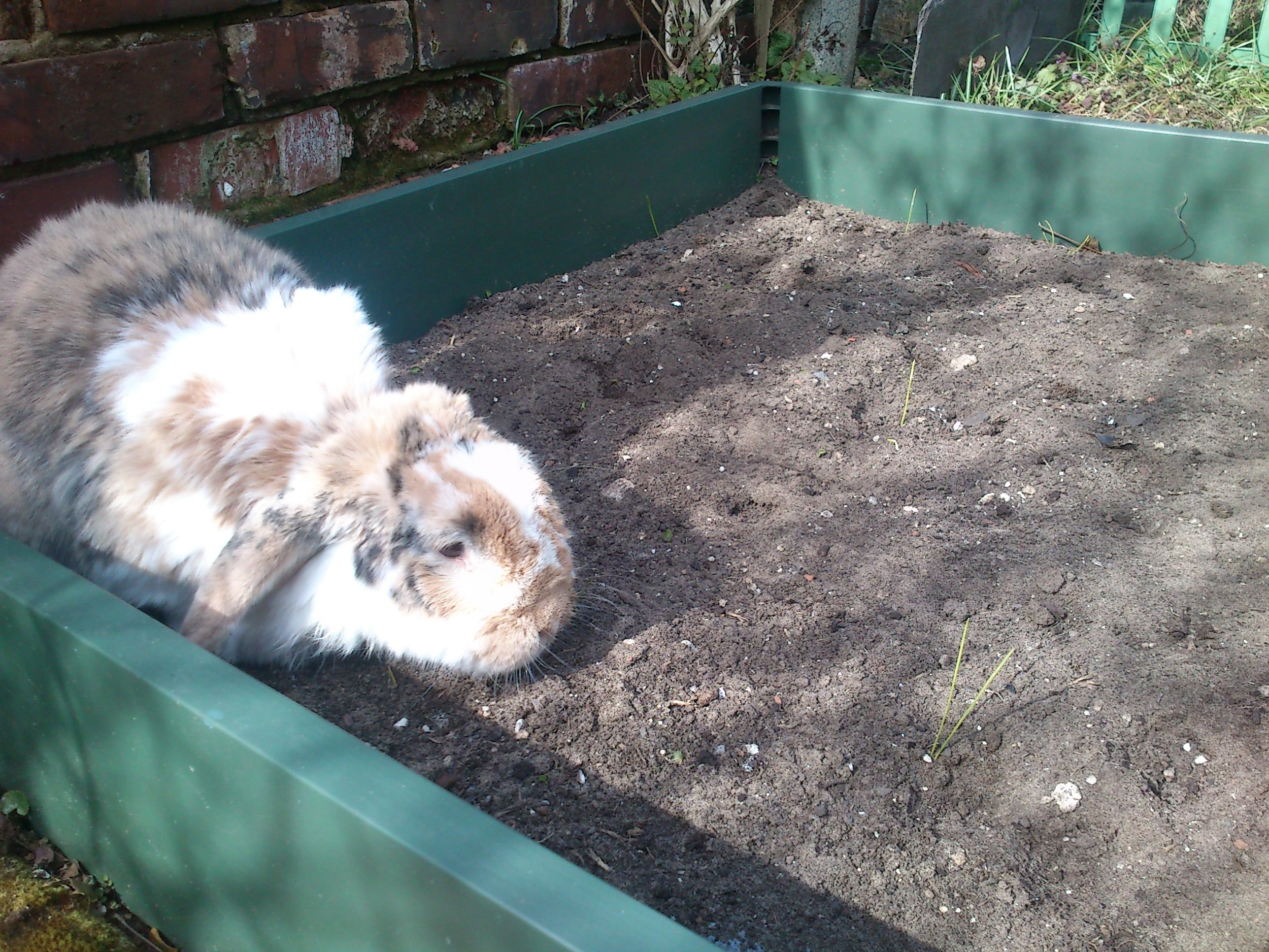 Impatient Bunny Checks the Newly-Planted Garden for Vegetables