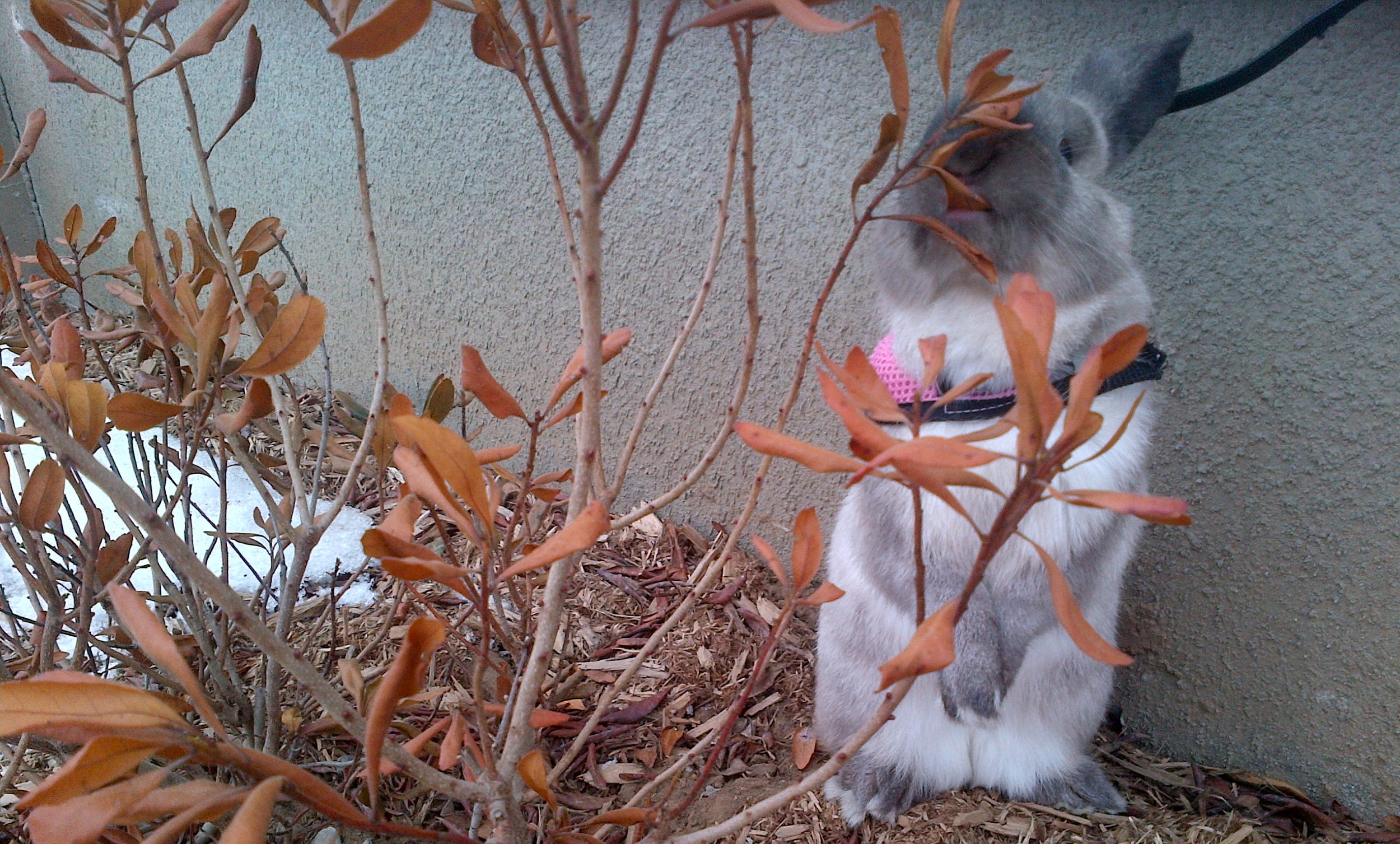 Bunny Samples a Dry Leaf on a Trip to the Backyard