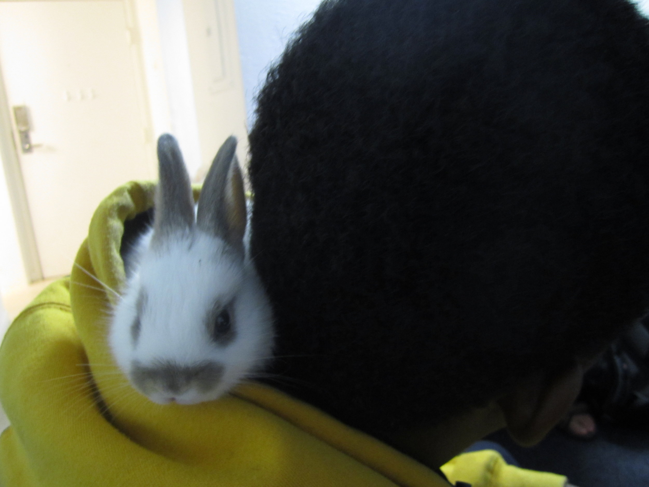 Bunny Found a Cozy Spot in Human's Hood