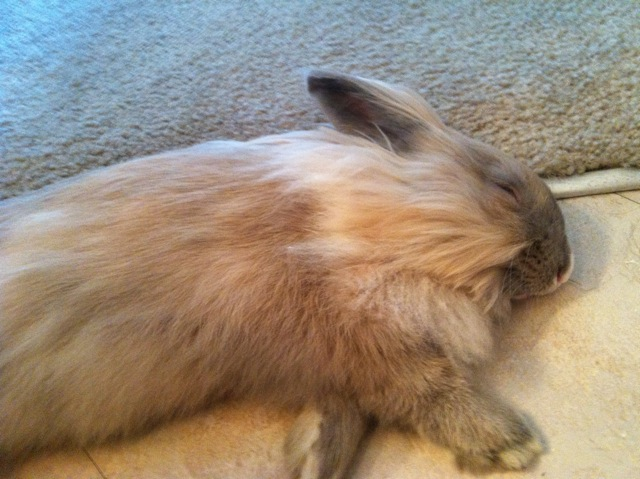 Flopped Bunny Naps without a Care in the World 1