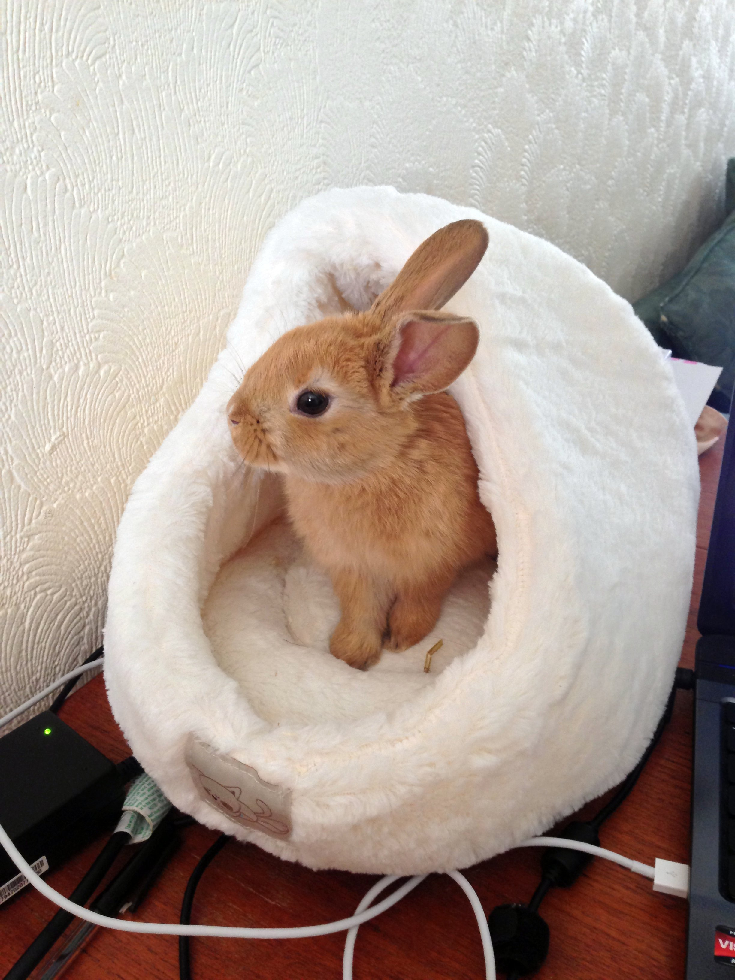 Bunny Has a Bed on Her Human's Desk So She Can Supervise from a Place of Comfort 1