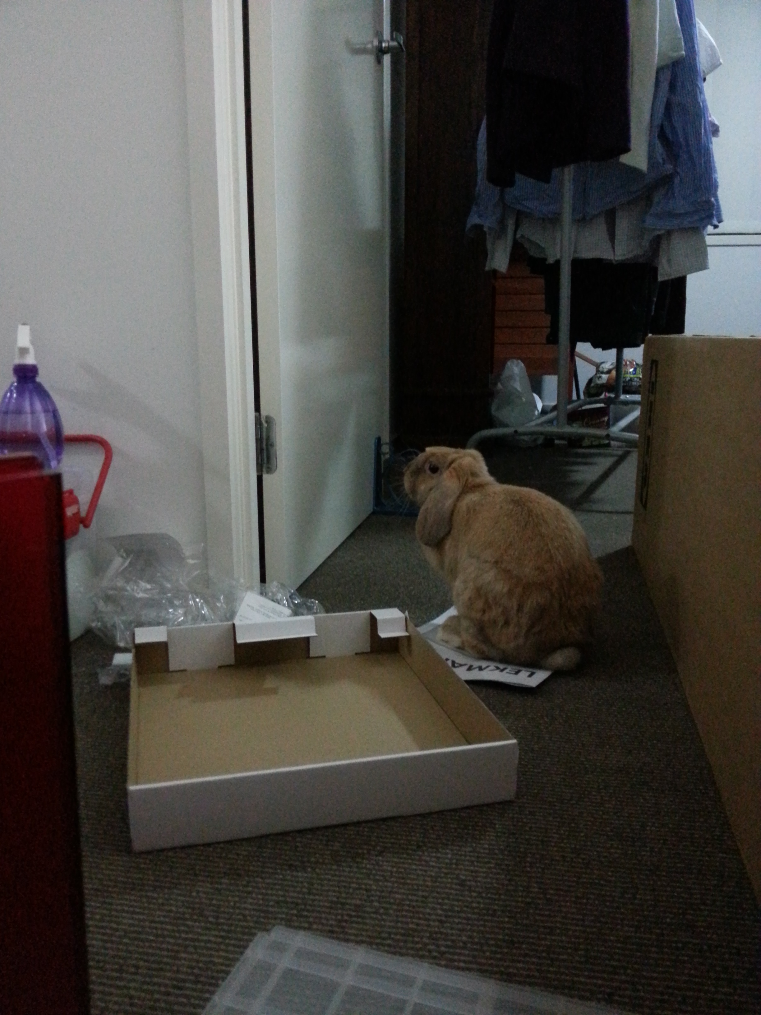 Bunny Helps Her Human Put Together the Ikea 2