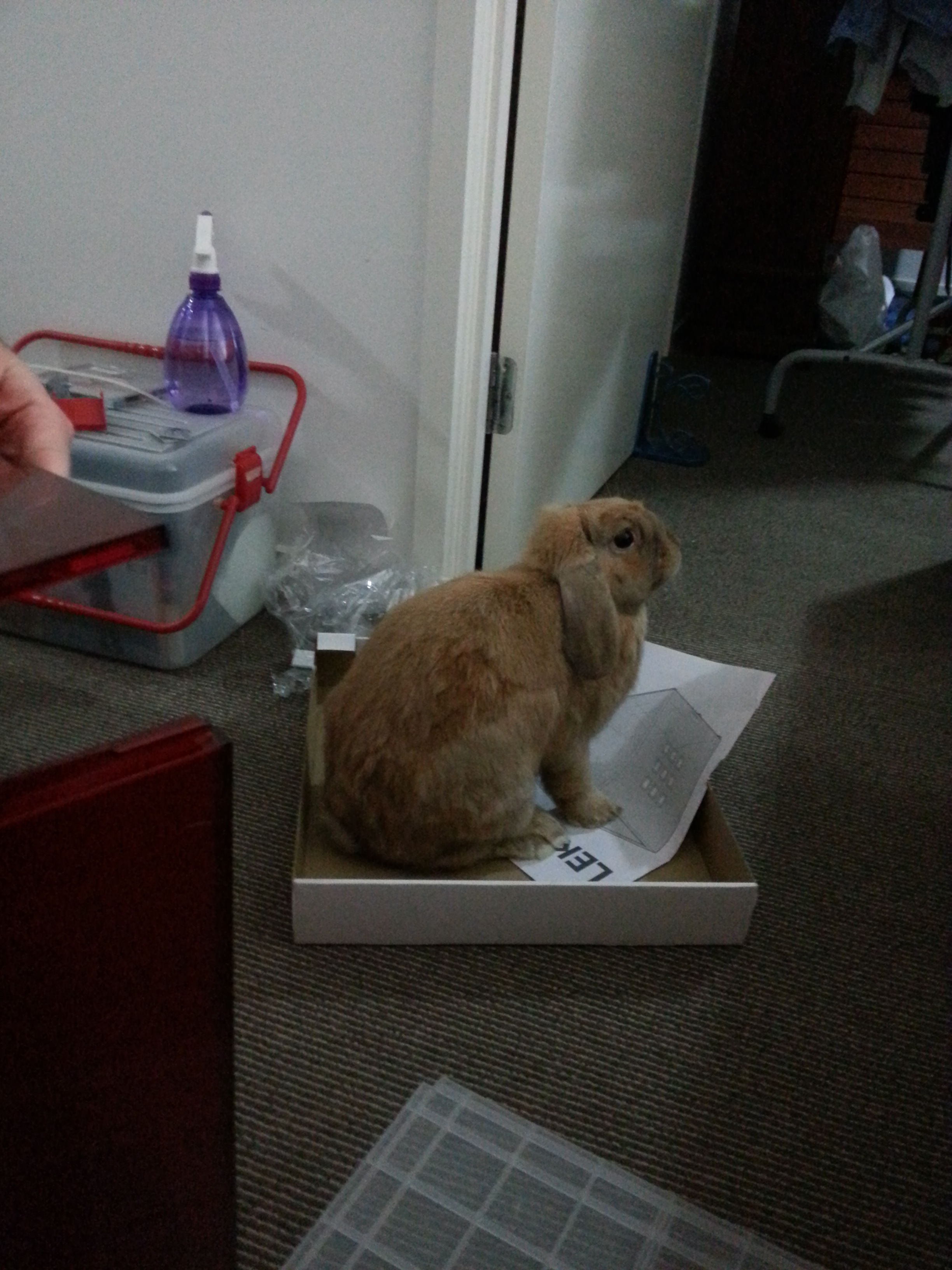 Bunny Helps Her Human Put Together the Ikea 3