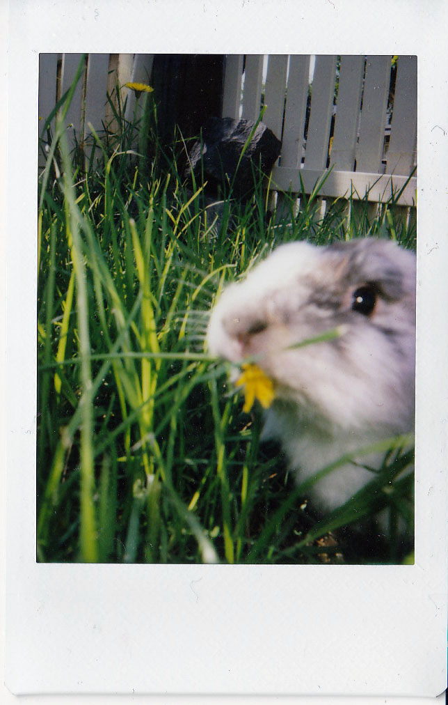Explorer Bunny Combs through the Grass and Finds a Tasty Dandelion 2