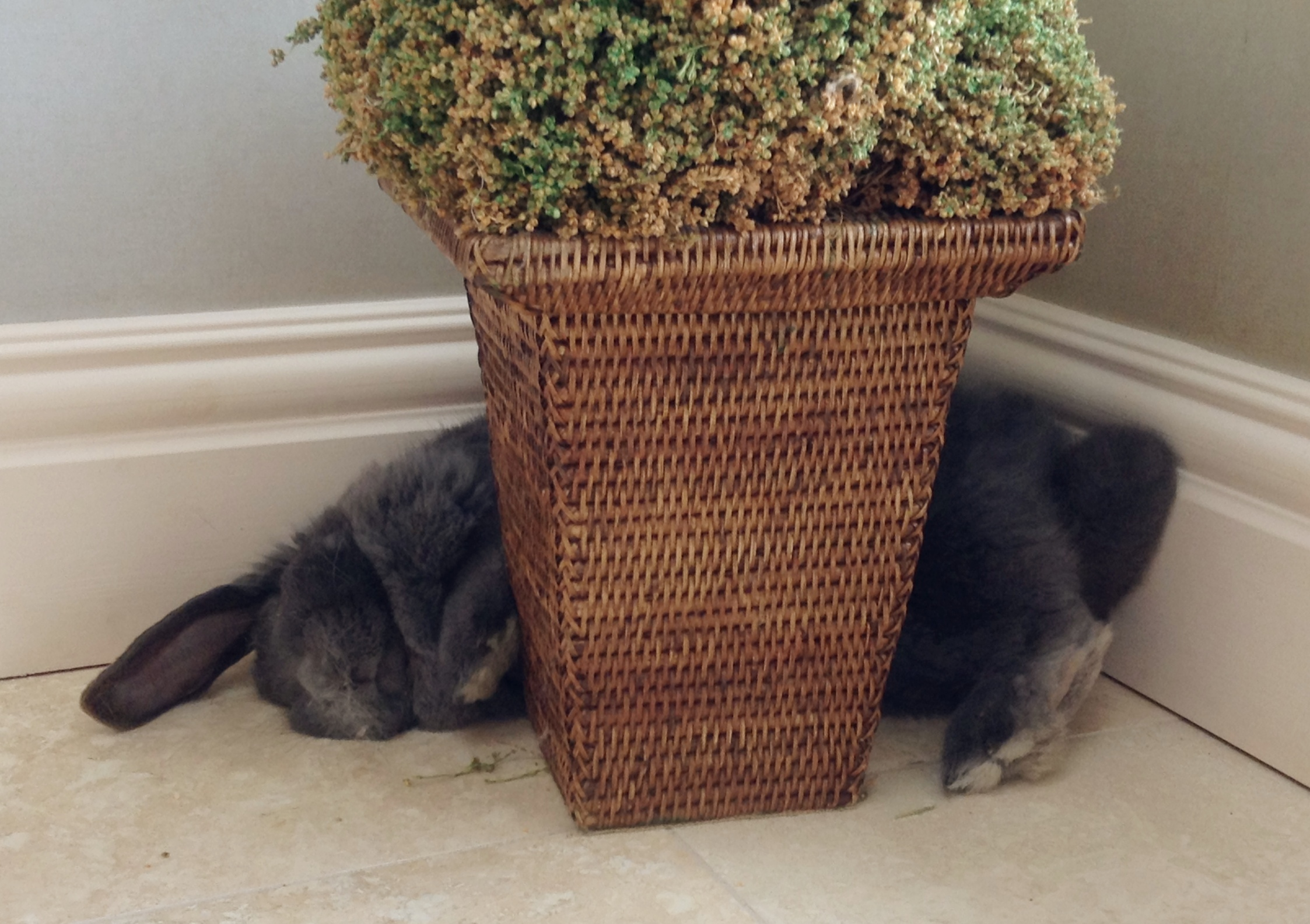 Bunny Sleeps Hugging the House Plant