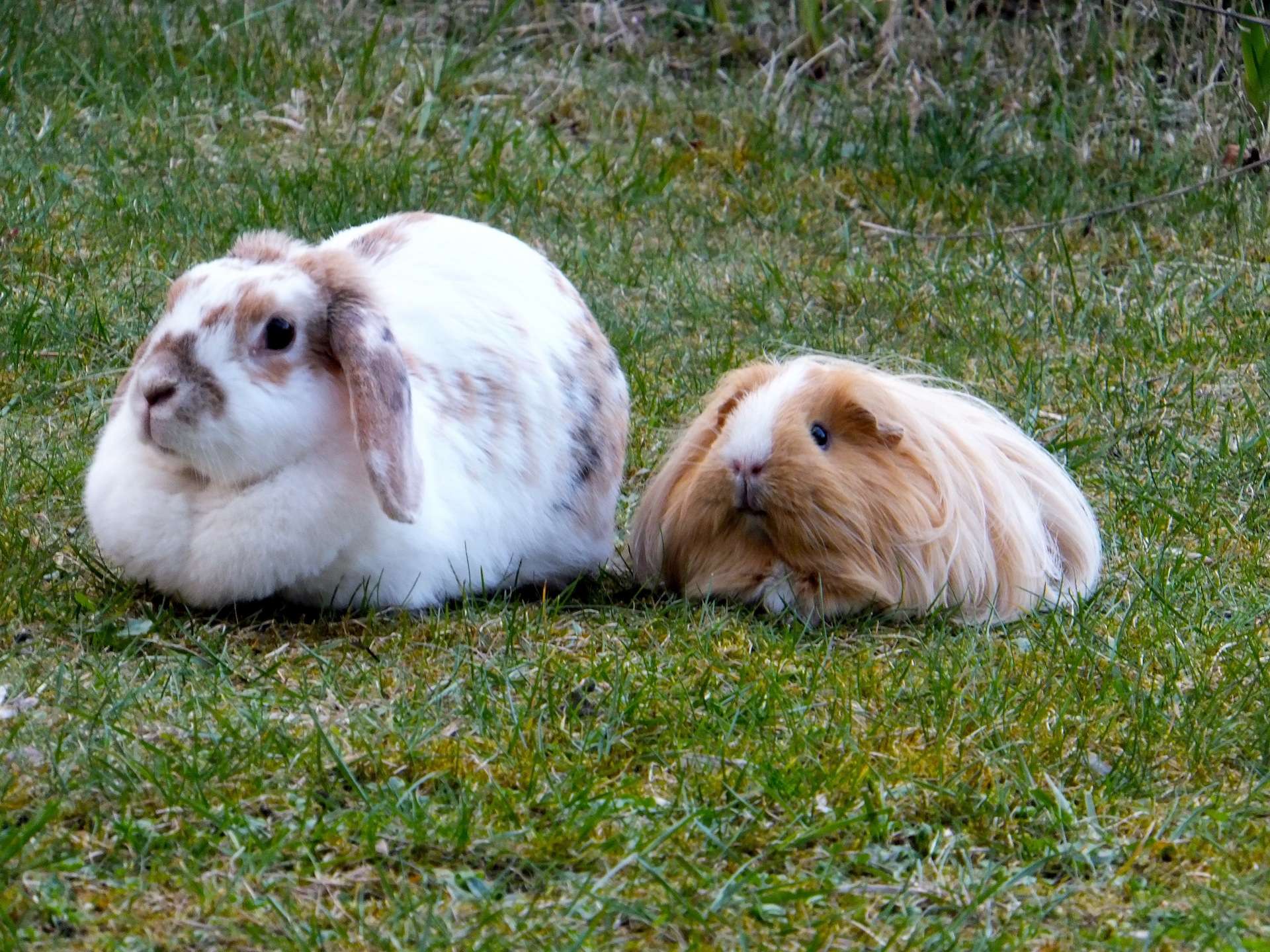 Bunny and Her Guinea Pig Friend Relax Together in the Garden