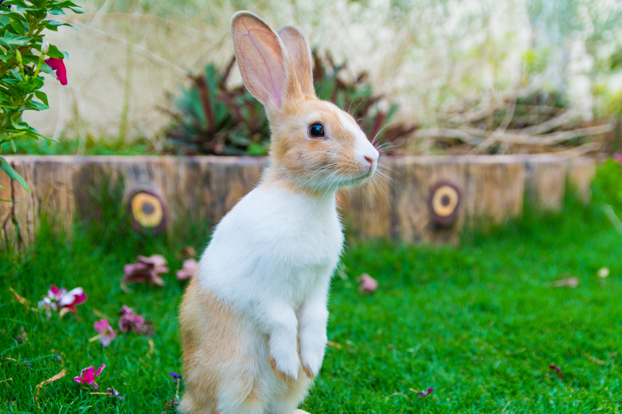 Bunny Stands Up to Gauge All That Binkying Space in the Yard